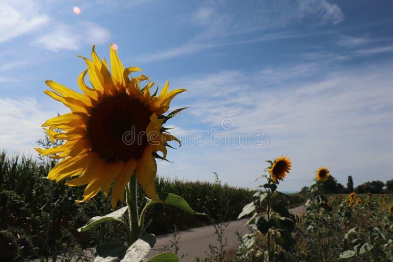 Ett slut upp av en solros vid sidan av tevägen royaltyfri fotografi