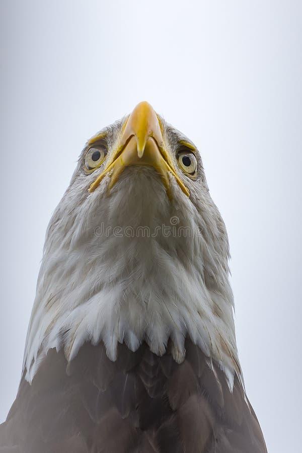 Ett slut upp av huvudet av en amerikansk skallig örn med dess härliga vita huv och gula näbb royaltyfria foton