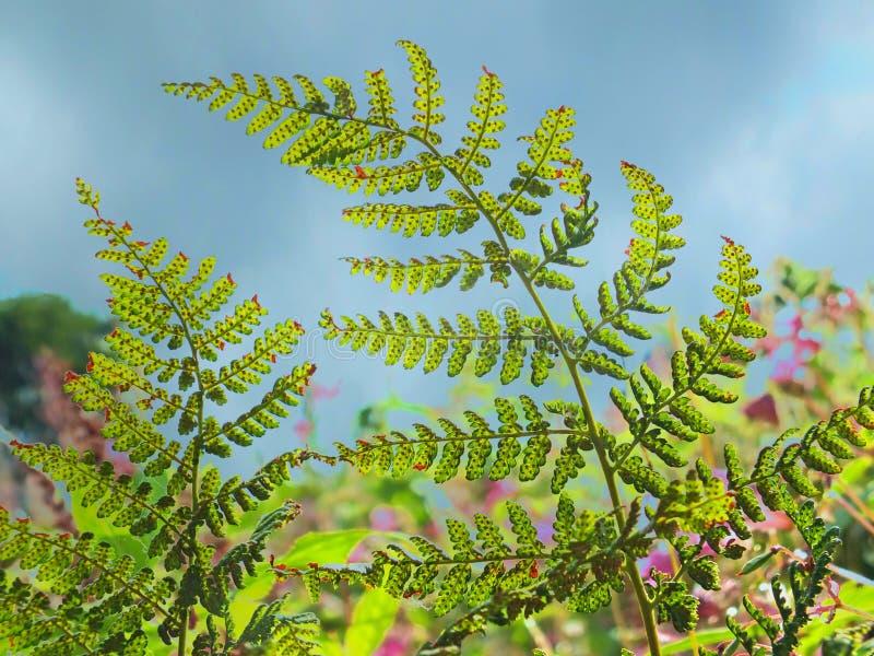 Ett slut upp av ljust - gröna lösa ormbunkeblad exponerade av solljus som glöder fast lövverket mot en blå molnig himmel royaltyfria foton