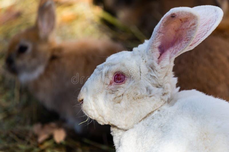 Ett slut upp bild av unga bruna kaniner vänder mot royaltyfria foton