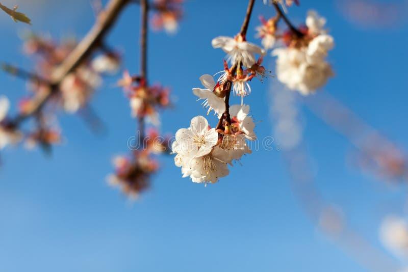 Ett slut upp blick av filialer av rosa blomningar under ren blå himmel fotografering för bildbyråer