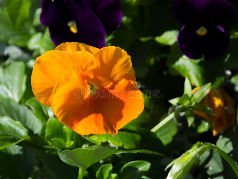Ett slut upp den härliga orange penséblomman i en vårsäsong på en botanisk trädgård fotografering för bildbyråer