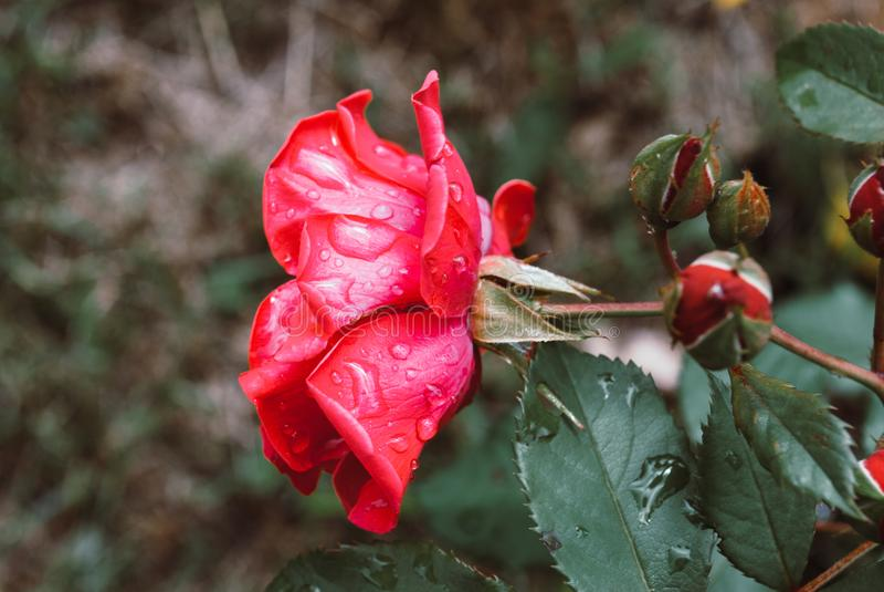 Ett slut upp makroskott av en röd ros med regndroppar royaltyfria bilder