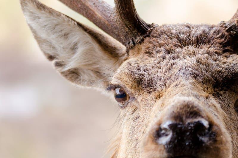 Ett slut upp ståenden av en röd hjort i Skottland med vattenlilla droppen royaltyfri fotografi