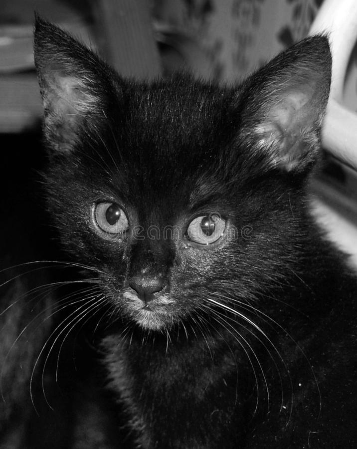 Ett slut upp ståenden i svartvitt av en mycket liten svart kattunge royaltyfria bilder