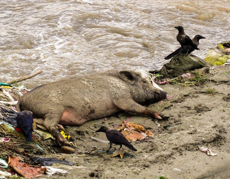 Ett smutsigt svin bredvid vatten som omges av kull, rackar ner på och fågeln fotografering för bildbyråer