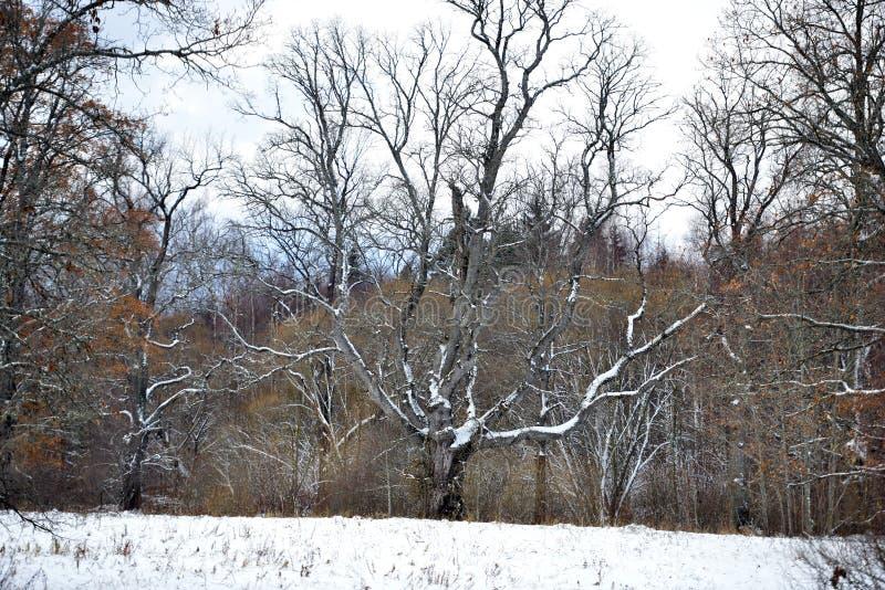 Ett snöig delat träd i fältet åt sidan royaltyfria bilder