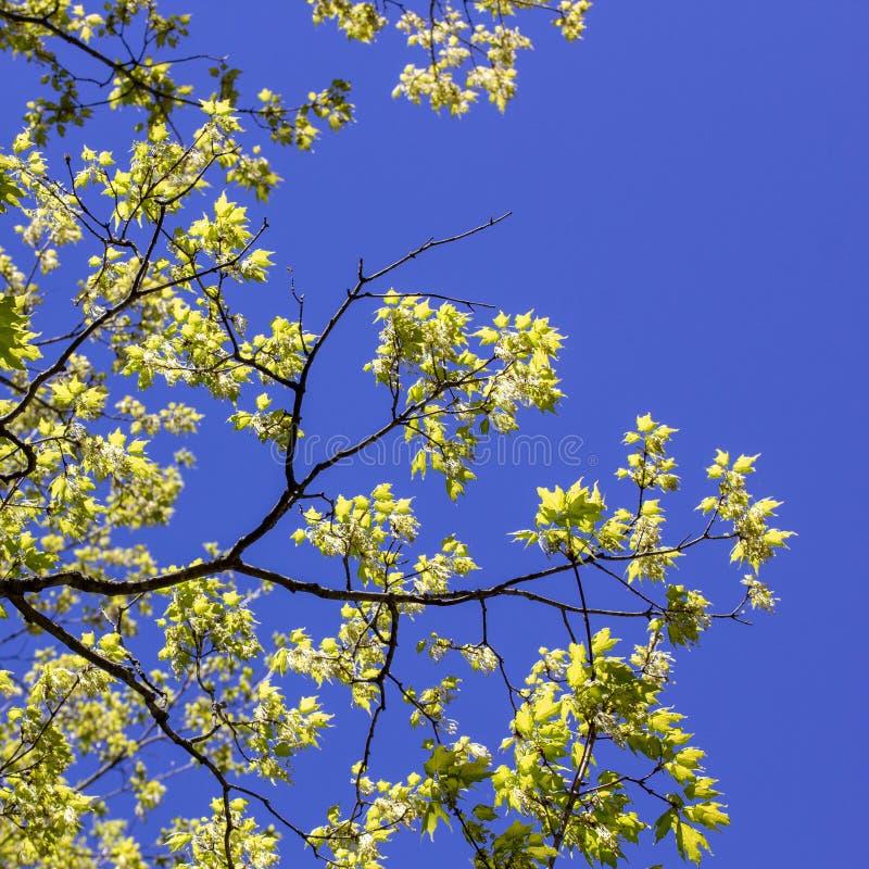 Ett spirande träd i vår i Massachusetts royaltyfri bild
