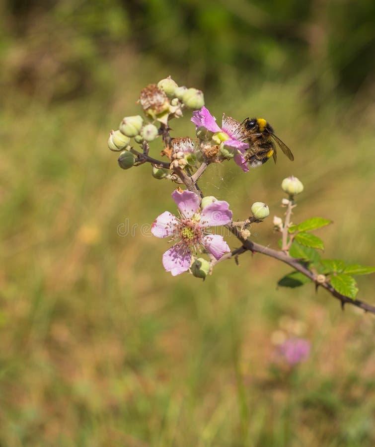 Ett stapplabi på en Blackberry blomma arkivfoto