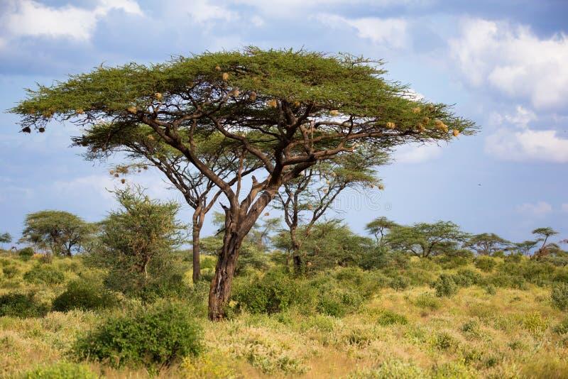 Ett stort akaciaträd mellan en andra buskar och växter royaltyfri foto
