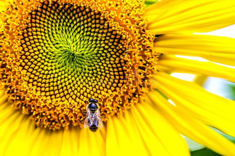 Ett stort bi samlar pollen från en solros arkivbild