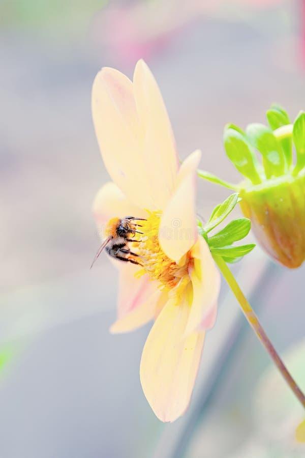 Ett stort bi sitter på en härlig ljus tusenskönablomma N?rbild kopieringsutrymme Bakgrund arkivbilder