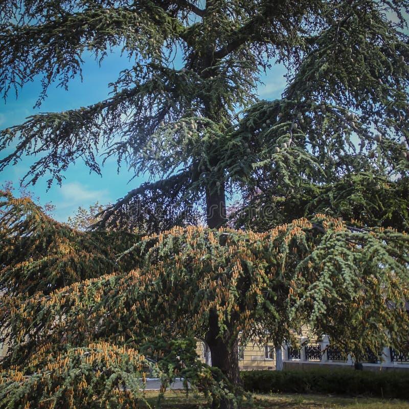 Ett stort exempel av en härlig ett stort och gammalt Cedar Tree Cedrus libani eller Libanon cederträ arkivbild