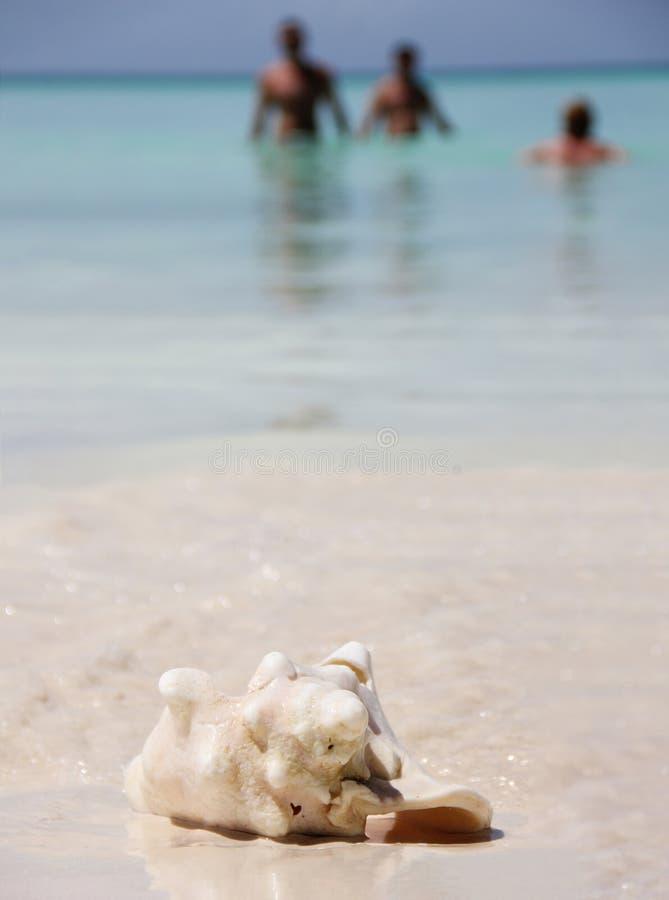 Ett stort havskal av rosa pärlemorStrombusgigas ligger på den vita sanden på det karibiska havet på ön av fotografering för bildbyråer