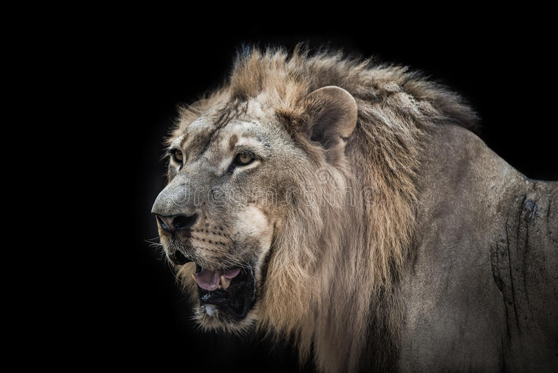 Ett stort manligt afrikanskt lejon royaltyfria bilder