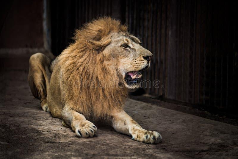 Ett stort manligt afrikanskt lejon arkivfoton