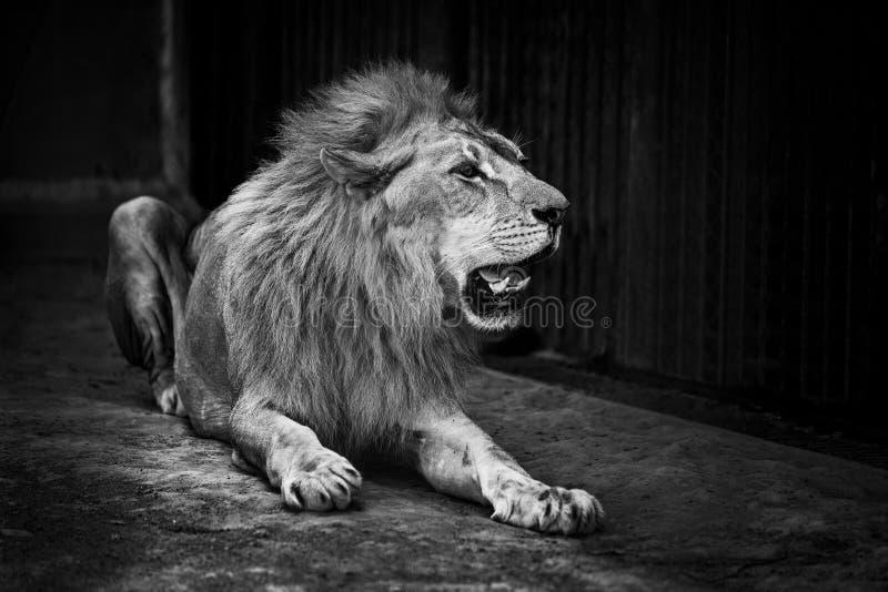 Ett stort manligt afrikanskt lejon royaltyfri fotografi