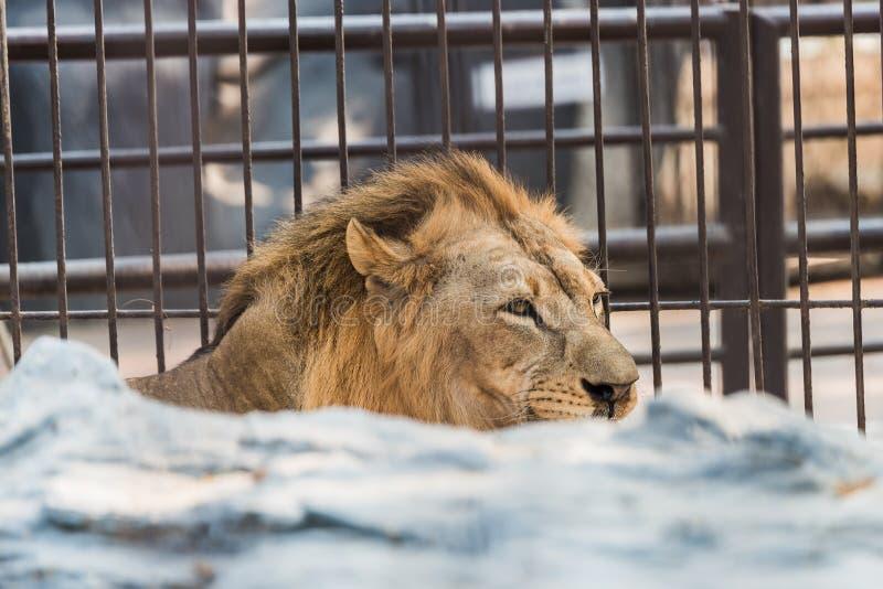 Ett stort manligt afrikanskt lejon royaltyfri foto