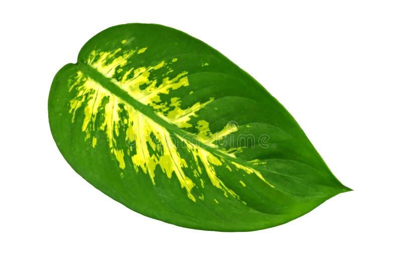 Ett stort ovalt blad av en Dieffenbachia f?r tropisk v?xt som isoleras p? vit bakgrund Objekt f?r design royaltyfri fotografi