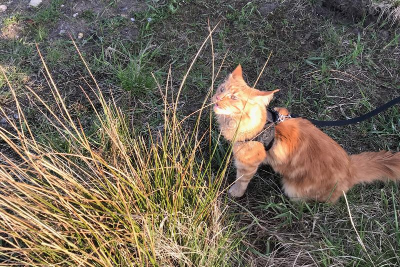 Ett stort r?tt marmorerar den Maine Coon katten i en sele arkivfoton