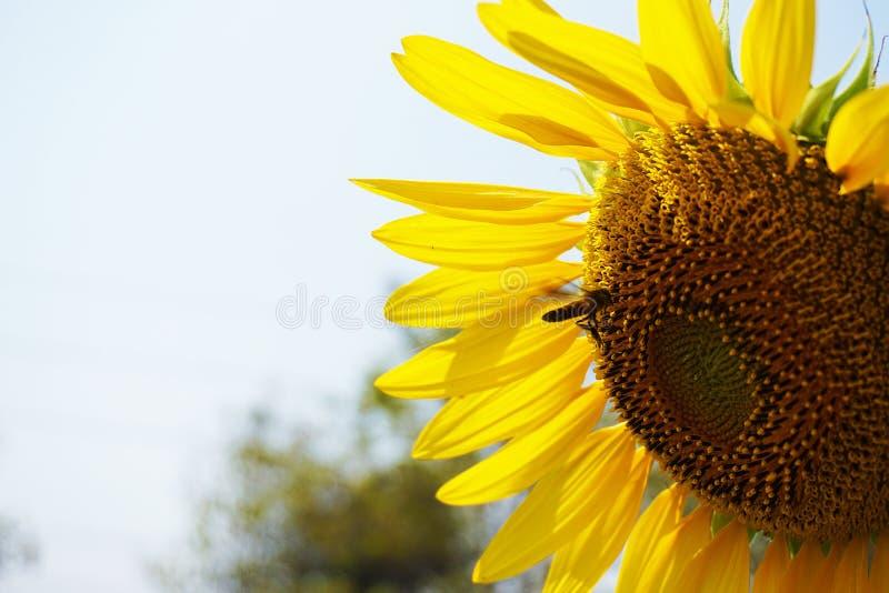 Ett stort solblomma- och honungbi arkivfoton