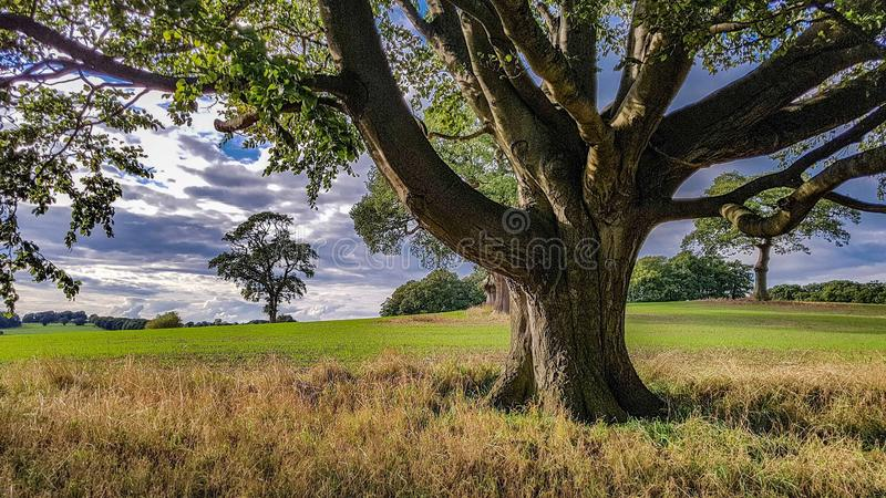 Ett stort träd i ett fält royaltyfria foton