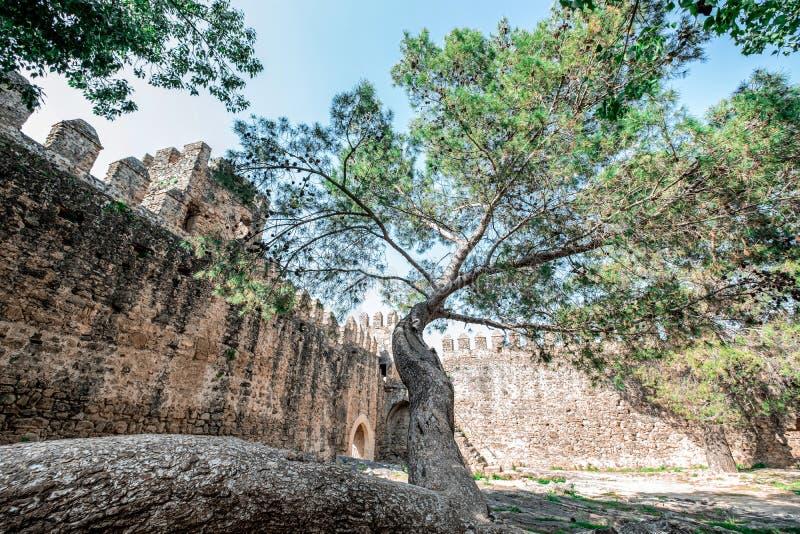 Ett stort träd som växer i ett förstört slott royaltyfri fotografi