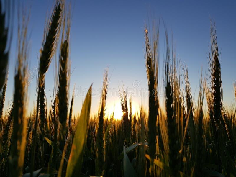 Ett stort vetefält Bak solnedgången royaltyfria foton