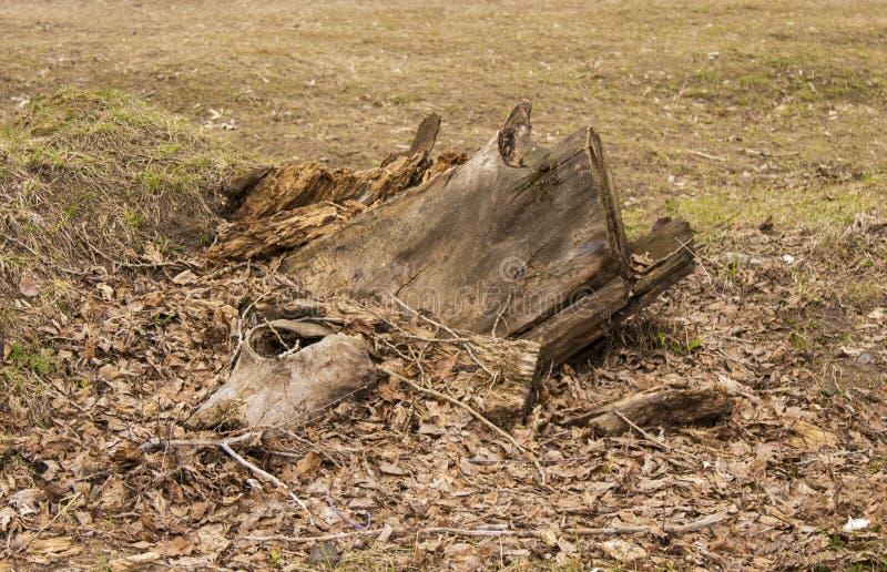 Ett stupat tr?d, en stubbe, en kvarleva av ett tr?d, ett avverkat tr?d arkivbild