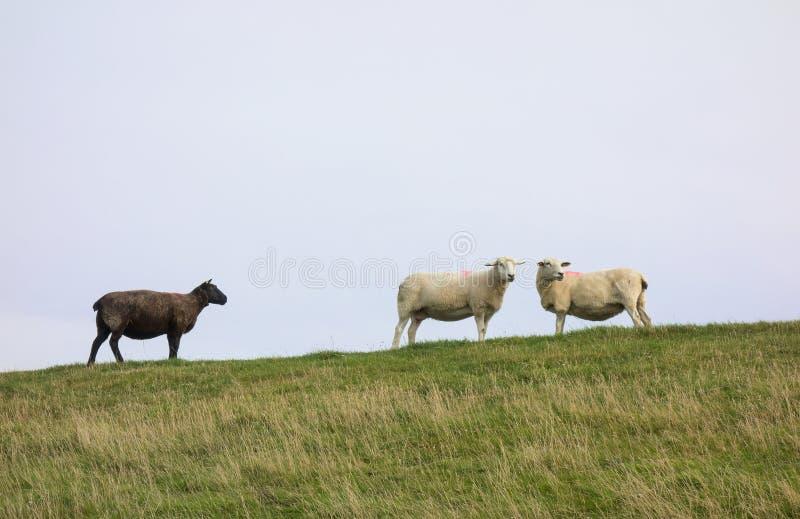 Ett svart får med två vita får royaltyfri fotografi
