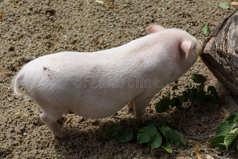Ett svin som ses på en lokal lantgård arkivfoton