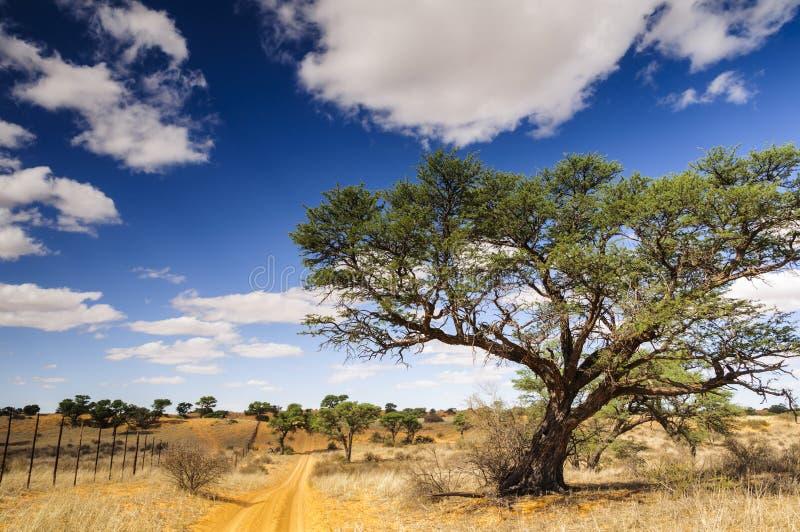 Ett taggträd och grusväg på en Kalahari brukar royaltyfri foto