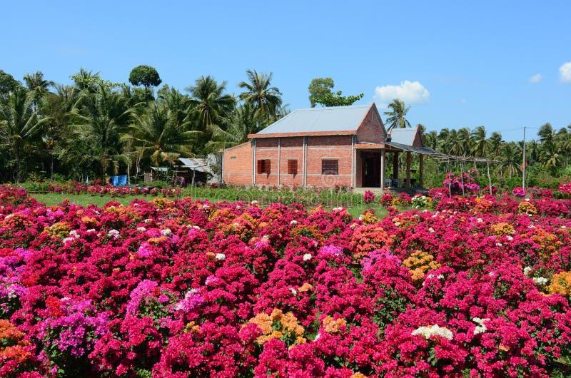 Ett tegelstenhus med bougainvillean blommar i Vinh Long, Vietnam royaltyfri fotografi