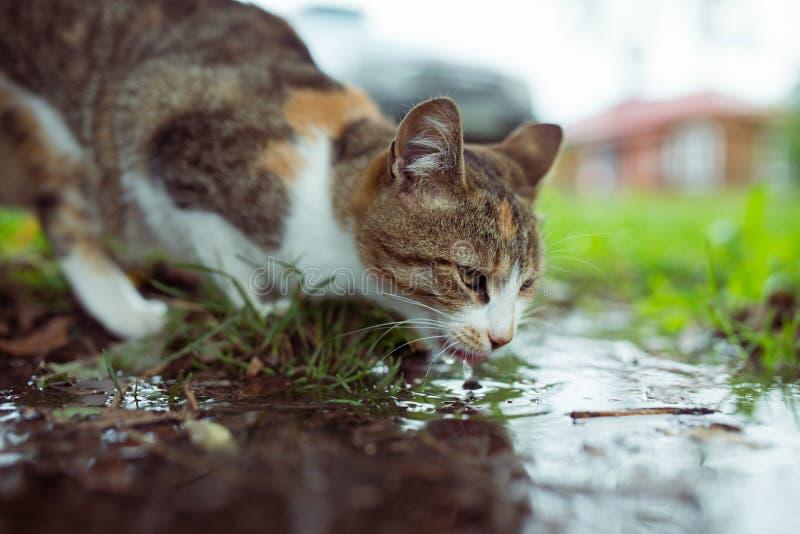 Ett tillfälligt kattdricksvatten från pöl royaltyfri fotografi