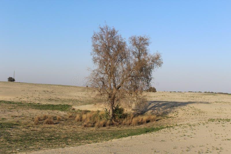 Ett träd i öknen royaltyfri bild
