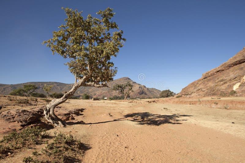 Ett träd i lantliga Etiopien arkivbilder