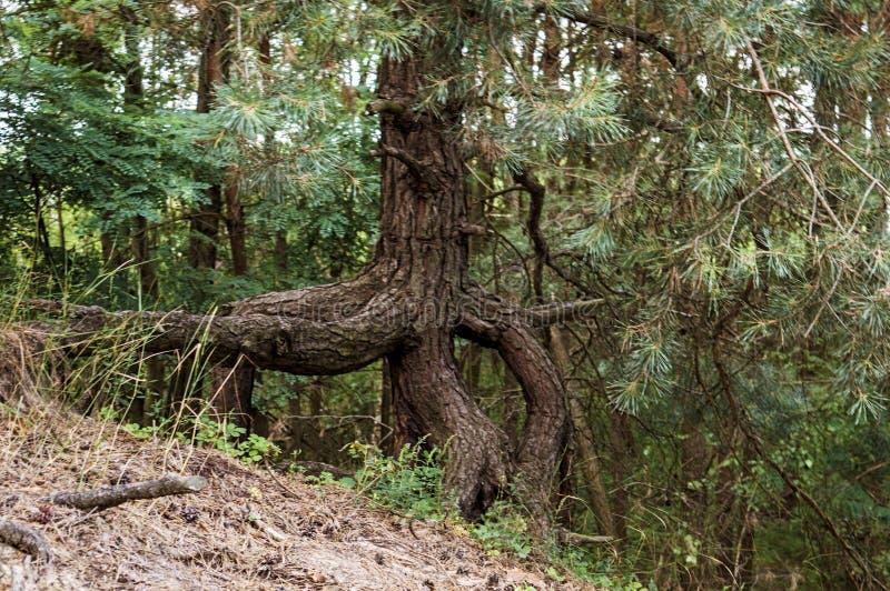 Ett träd i skogen fotografering för bildbyråer