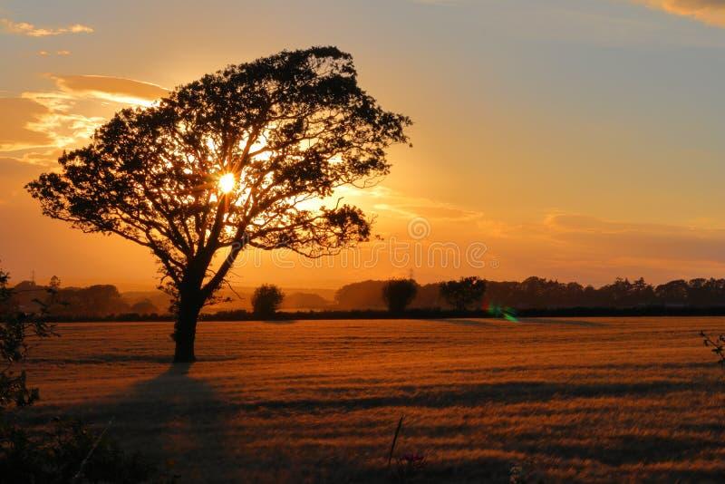 Ett träd på fältet och solnedgången royaltyfri bild