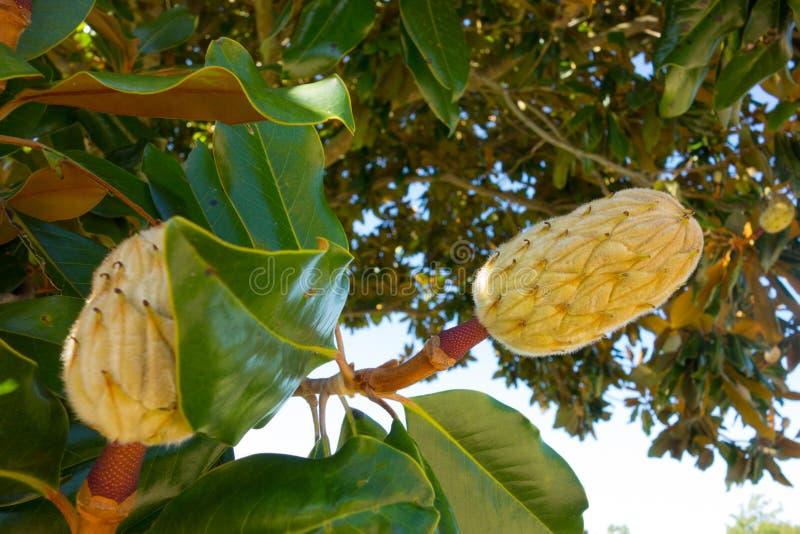 Ett träd som blommar i louisiana fotografering för bildbyråer
