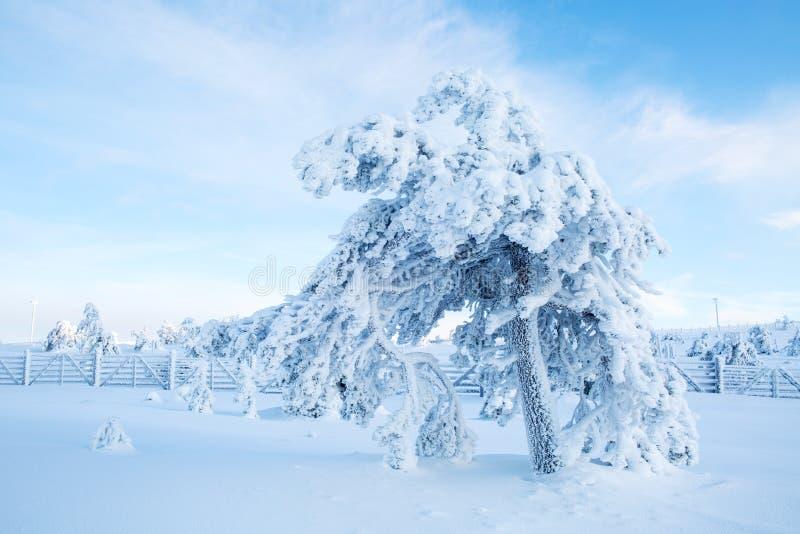 Ett träd som täckas med tung snö med blå himmel i Lapland Finland, royaltyfri foto