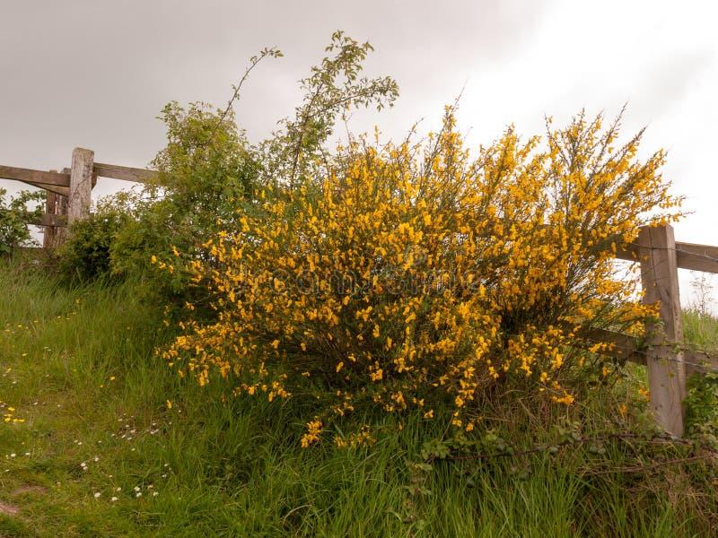 Ett trästaket utanför med växande guling för frodig ärttörne slår ut på gr royaltyfria foton