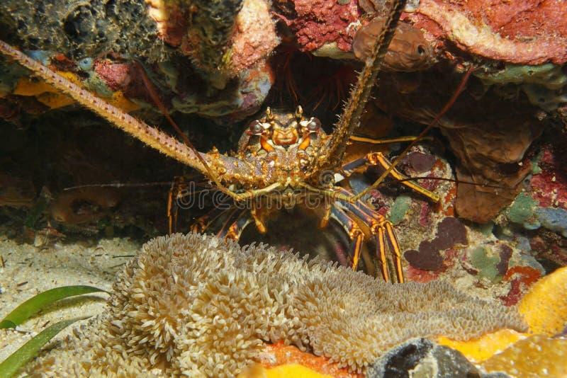 Ett undervattens- karibiskt hav för taggig hummer arkivbild