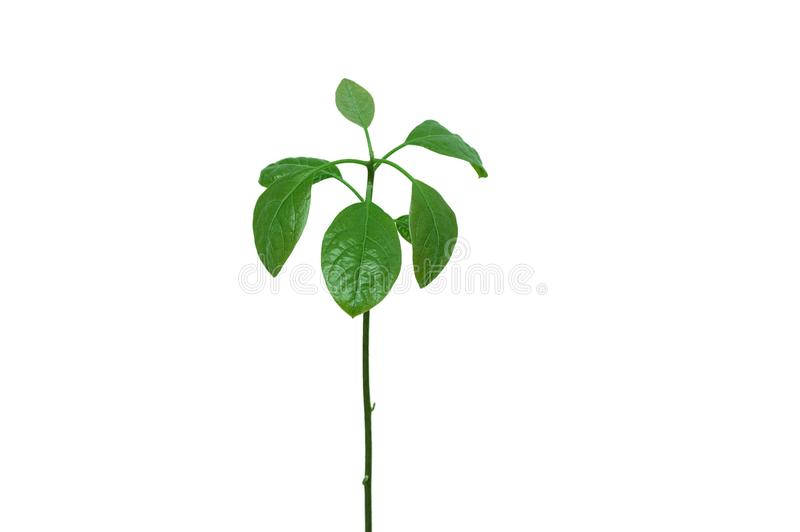 Ett ungt avokadoträd arkivfoto