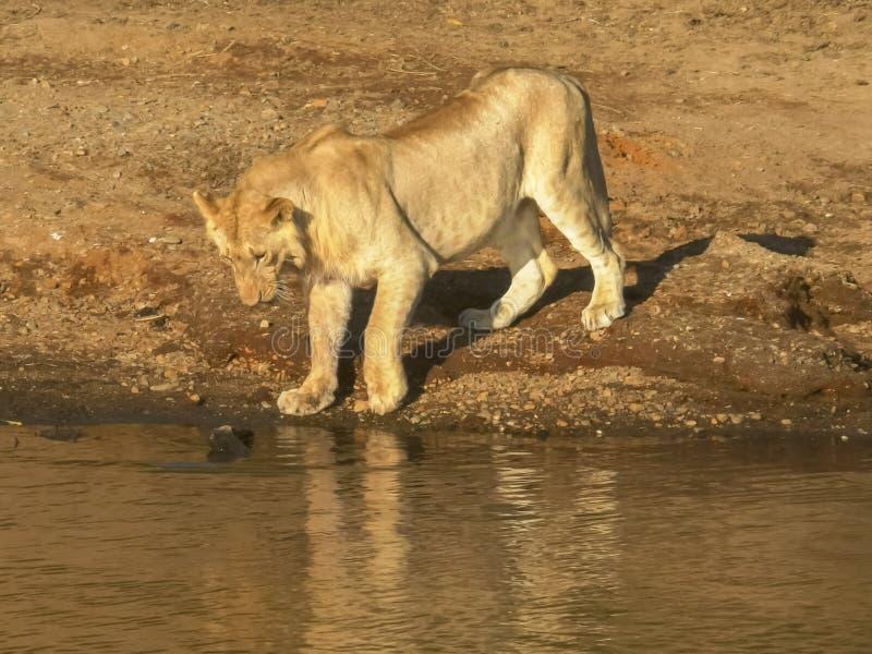 Ett ungt lejon testar vattnet med dess tafsar på masaien mara, Kenya arkivbilder
