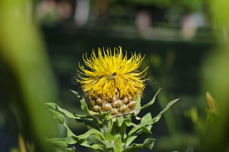 Ett upptaget bi som arbetar på en gul blomma royaltyfria foton