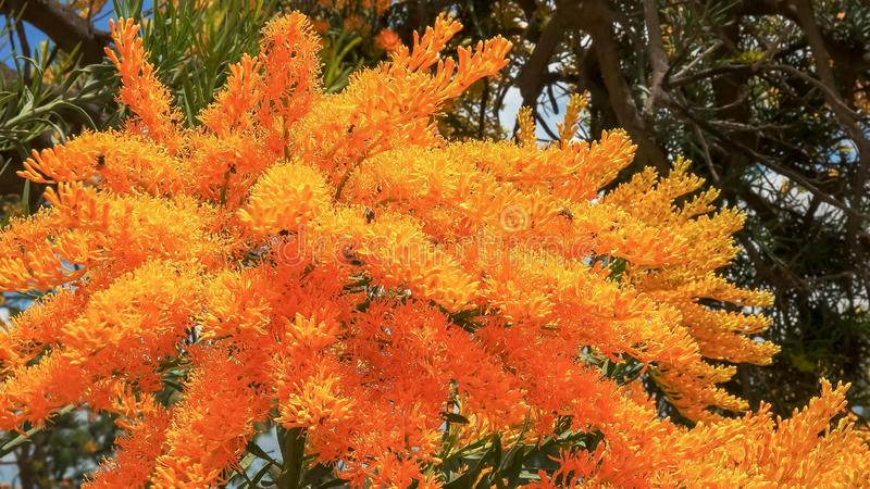 Ett v?stra australiskt jultr?d med ljusa gula blommor arkivbild