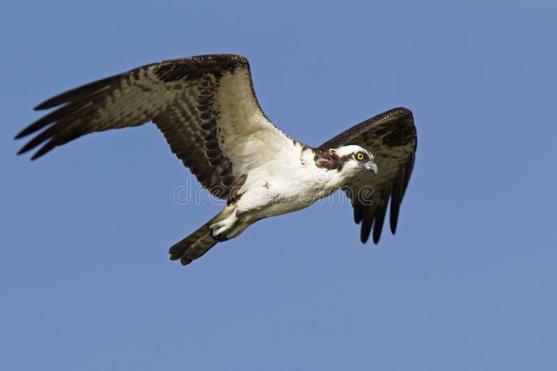 Ett västra flyg och jakt för fiskgjusePandionhaliaetus i himlen skjuta i höjden och jaga för fisk längs kusten arkivfoton