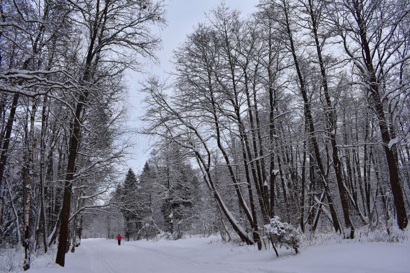 Ett vilket nöje att springa till och med vinterskogen på skidar snö på jordningen, träden, tystnaden ibland arkivfoton