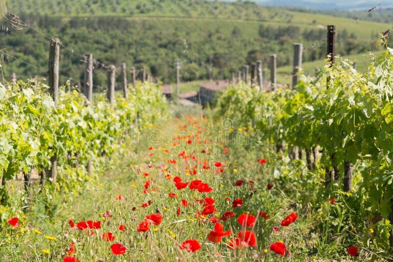 Ett vingårdfält med vallmo under våren i Tuscany arkivfoto