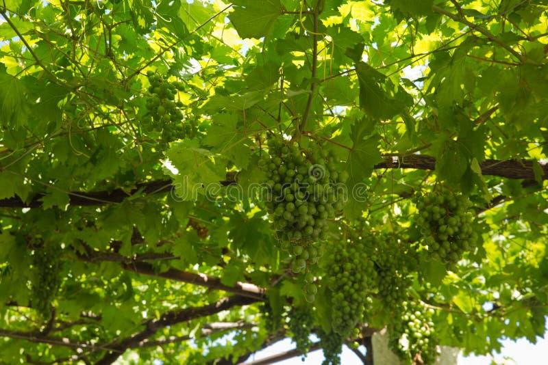 Ett vinrankaträd med druvor arkivfoton